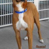 Adopt A Pet :: Rascal - Oskaloosa, IA