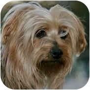 Silky Terrier Dog for adoption in La Costa, California - Maddy