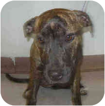 American Pit Bull Terrier Puppy for adoption in San Clemente, California - RAINBOW