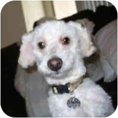 Bichon Frise Mix Puppy for adoption in La Costa, California - Bubby