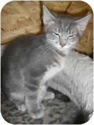 Domestic Shorthair Cat for adoption in Strathmore, Alberta - Gatsby