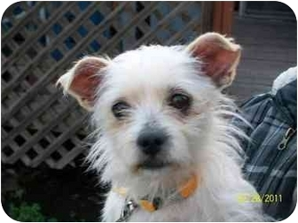 Terrier (Unknown Type, Small)/Border Terrier Mix Dog for adoption in Castro Valley, California - June