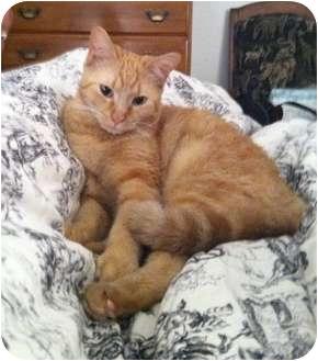 American Shorthair Cat for adoption in Corpus Christi, Texas - Bailey
