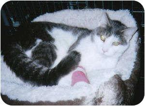 Domestic Shorthair Cat for adoption in El Dorado Hills, California - Louie