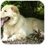Photo 3 - Great Pyrenees/Golden Retriever Mix Dog for adoption in Nanuet, New York - Goliath
