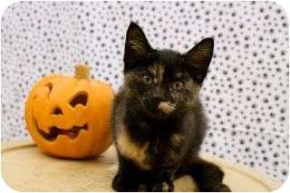 Domestic Shorthair Kitten for adoption in Warren, Michigan - Matilda