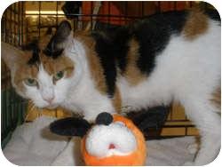 Domestic Mediumhair Cat for adoption in Loudonville, New York - Poppy