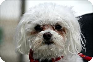 Maltese Mix Dog for adoption in Anderson, Indiana - Snow