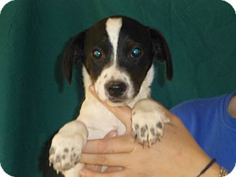 Beagle/Jack Russell Terrier Mix Puppy for adoption in Oviedo, Florida - Dillion