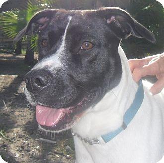 Catahoula Leopard Dog Mix Dog for adoption in Odessa, Florida - HENNY