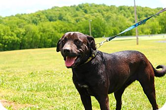 Labrador Retriever/Shar Pei Mix Dog for adoption in Linden, Tennessee - Wrinkles