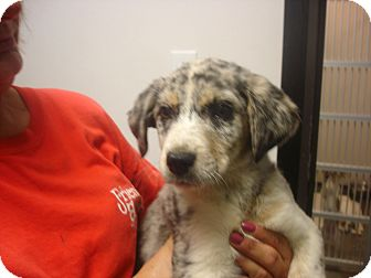 Border Collie/German Shepherd Dog Mix Puppy for adoption in Greencastle, North Carolina - Cotton