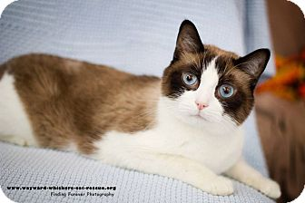 Snowshoe Cat for adoption in San Antonio, Texas - Merlin