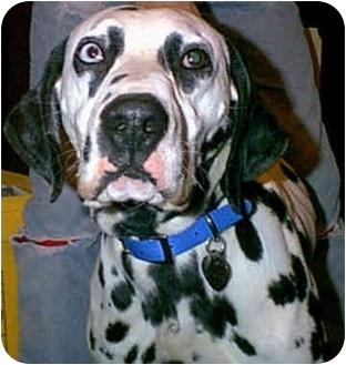 Dalmatian Dog for adoption in Steger, Illinois - Blue