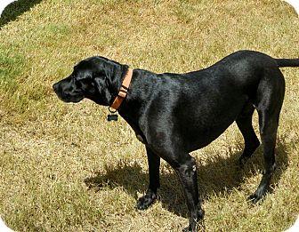 Labrador Retriever Mix Dog for adoption in Schertz, Texas - Sammy