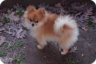 Pomeranian Mix Dog for adoption in conroe, Texas - Jazz