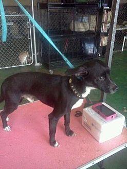Chihuahua/German Pinscher Mix Dog for adoption in Fresno, California - Lightning