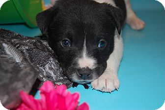Border Collie/Labrador Retriever Mix Puppy for adoption in HAGGERSTOWN, Maryland - LIBBY
