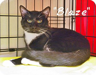 Domestic Shorthair Cat for adoption in Ocean City, New Jersey - Blaze