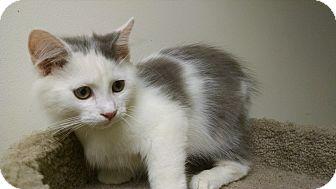 Domestic Longhair Kitten for adoption in Carlisle, Pennsylvania - Sterling