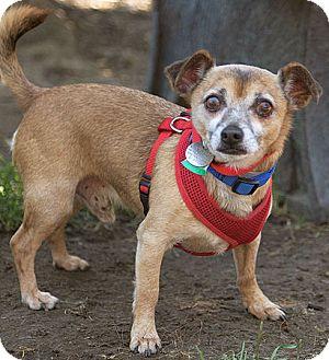 Chihuahua Mix Dog for adoption in Port Washington, New York - Jersey