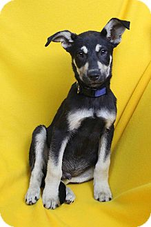 Shepherd (Unknown Type) Mix Puppy for adoption in Westminster, Colorado - Lito