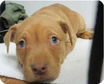 Labrador Retriever Mix Puppy for adoption in Williamsburg, Virginia - RUDOLPH