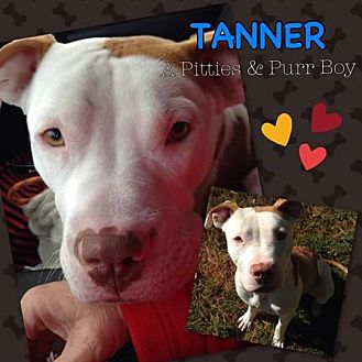 American Pit Bull Terrier Mix Dog for adoption in Baltimore, Maryland - Tanner