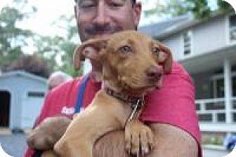 Vizsla/Hound (Unknown Type) Mix Puppy for adoption in Marlton, New Jersey - DAISY