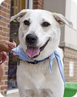 Labrador Retriever/Husky Mix Dog for adoption in PORTLAND, Maine - Daisy