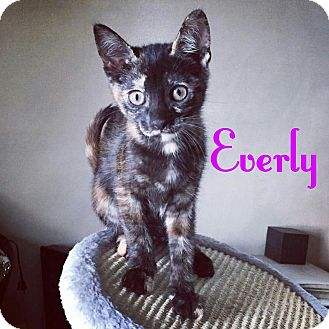 Domestic Shorthair Kitten for adoption in Flushing, New York - Everly