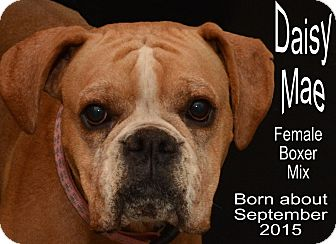 Boxer Mix Dog for adoption in Richmond, Missouri - Daisy Mae