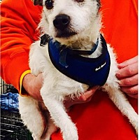 Jack Russell Terrier Dog for adoption in Columbia, Tennessee - Jack