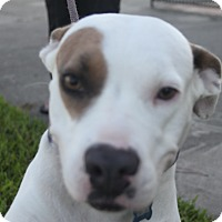 Staffordshire Bull Terrier/American Pit Bull Terrier Mix Dog for adoption in Houston, Texas - Maggie