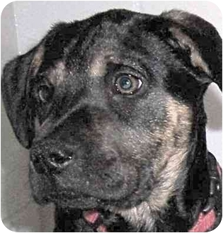 Labrador Retriever/Boxer Mix Dog for adoption in Olive Branch, Mississippi - A.J.-Almond Joy