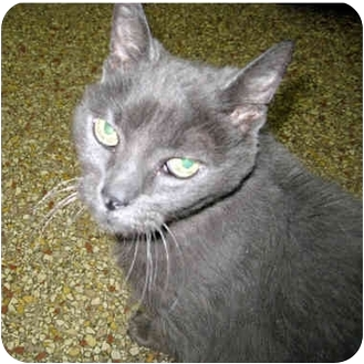 Domestic Shorthair Cat for adoption in Ottawa, Illinois - May