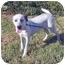 Photo 1 - Dalmatian Mix Puppy for adoption in Mandeville Canyon, California - Daisy 6