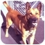 Photo 2 - Belgian Malinois Dog for adoption in New York, New York - Danny