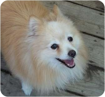 Pomeranian Dog for adoption in conroe, Texas - Stetson