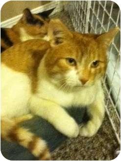 Domestic Shorthair Cat for adoption in Okotoks, Alberta - Peach