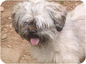 Lhasa Apso Dog for adoption in New Fairfield, Connecticut - Fiona