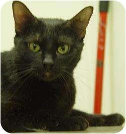Domestic Shorthair Cat for adoption in Oshkosh, Wisconsin - Baby