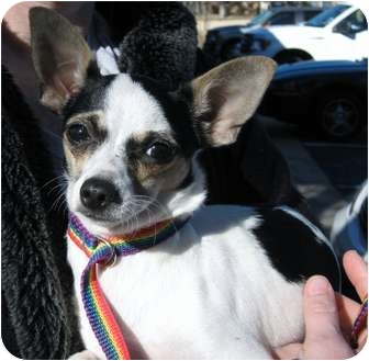 Chihuahua/Rat Terrier Mix Dog for adoption in AUSTIN, Texas - HONEY BEE