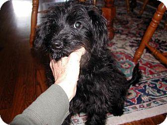 Poodle (Miniature) Mix Dog for adoption in Houston, Texas - Kennedy