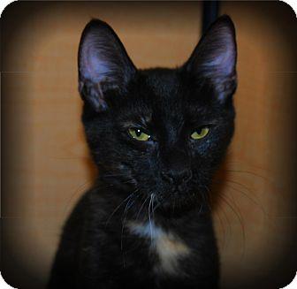 Domestic Shorthair Kitten for adoption in Yuba City, California - Luna the Kitten