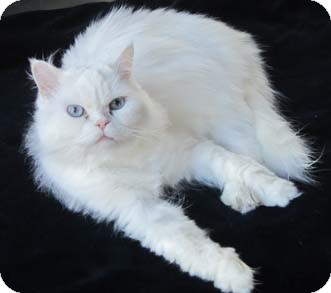 Persian Cat for adoption in Merrifield, Virginia - Xena