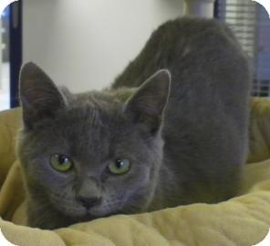 Russian Blue Cat for adoption in Lincolnton, North Carolina - Aristo cat