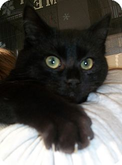 Domestic Shorthair Cat for adoption in Warwick, Rhode Island - Gabe