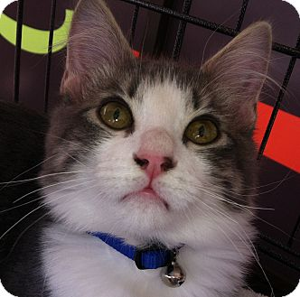 Domestic Mediumhair Kitten for adoption in Winchester, California - Luigi