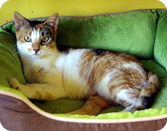 Calico Cat for adoption in Mobile, Alabama - Brittany